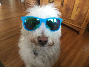 fluffy white dog in blue sunglasses