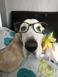 basset hound in glasses
